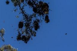 Clusters of dormant monarch butterflies at Natural Bridges State Park in Santa Cruz. Dawn Page / CoastsideSlacking.