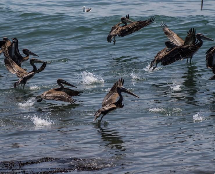 20170802 - pelicans-IMG_8534