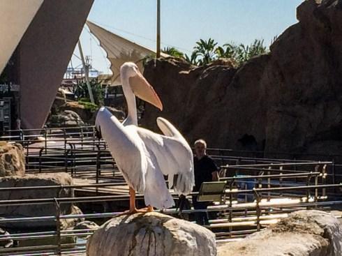 Pelican atL'Oceanogràficin Valencia, Spain. Dawn Page / CoastsideSlacking