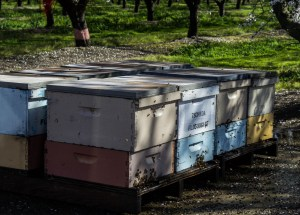 Bees doing their job along the Blossom Trail near Fresno, CA Dawn Page / CoastsideSlacking