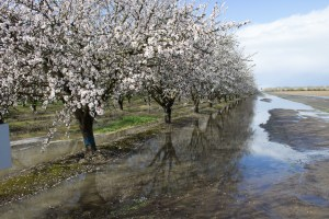 Orchards in bloom along the Blossom Trail near Fresno, CA. Dawn Page / CoastsideSlacking