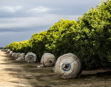 Orchards ready for winter along the Blossom Trail near Fresno, CA. Dawn Page / CoastsideSlacking