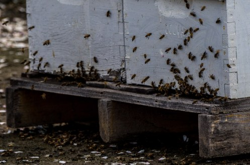Bees doing their job along the Blossom Trail near Fresno, CA Dawn Page / CoastsideSlacking