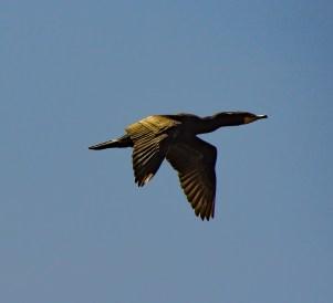 Cormorant. Pescadero Marsh Natural Preserve. Dawn Page/Coastside Slacking