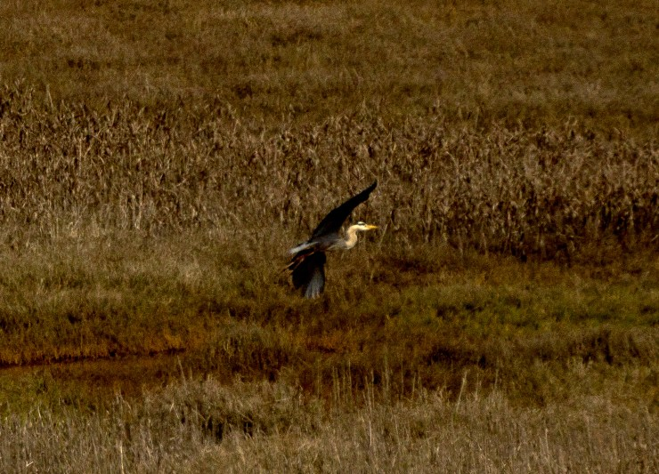 Blue heron. Pescadero Marsh Natural Preserve. Dawn Page/Coastside Slacking