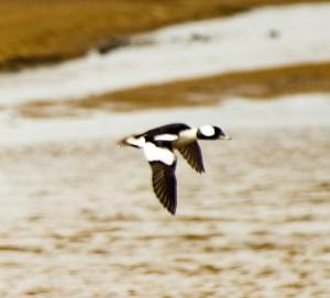 Bufflehead duck. Pescadero Marsh Natural Preserve. Dawn Page/Coastside Slacking