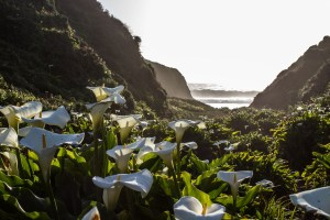 Calla Lily Valley, Big Sur, CA. Dawn Page/CoastsidesSlacking