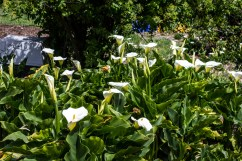 "Calla Lilies at the ""flower fields"" in Montara. Dawn Page/CoastsideSlacking"