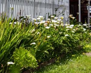 20180414 - calla lillies-IMG_4615