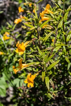 Orange Bush Monkeyflower on the Dias Ridge Trail. Dawn Page/CoastsideSlacking