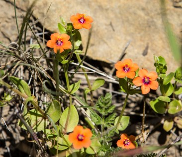 Scarlet Pimpernel on the Dias Ridge Trail. Dawn Page/CoastsideSlacking