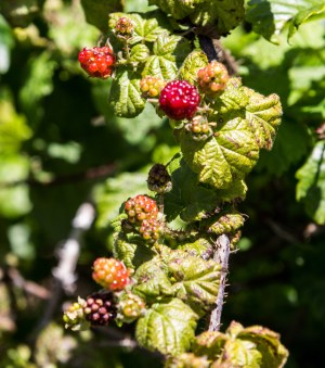 Blackberries on the Dias Ridge Trail. Dawn Page/Coastside Slacking