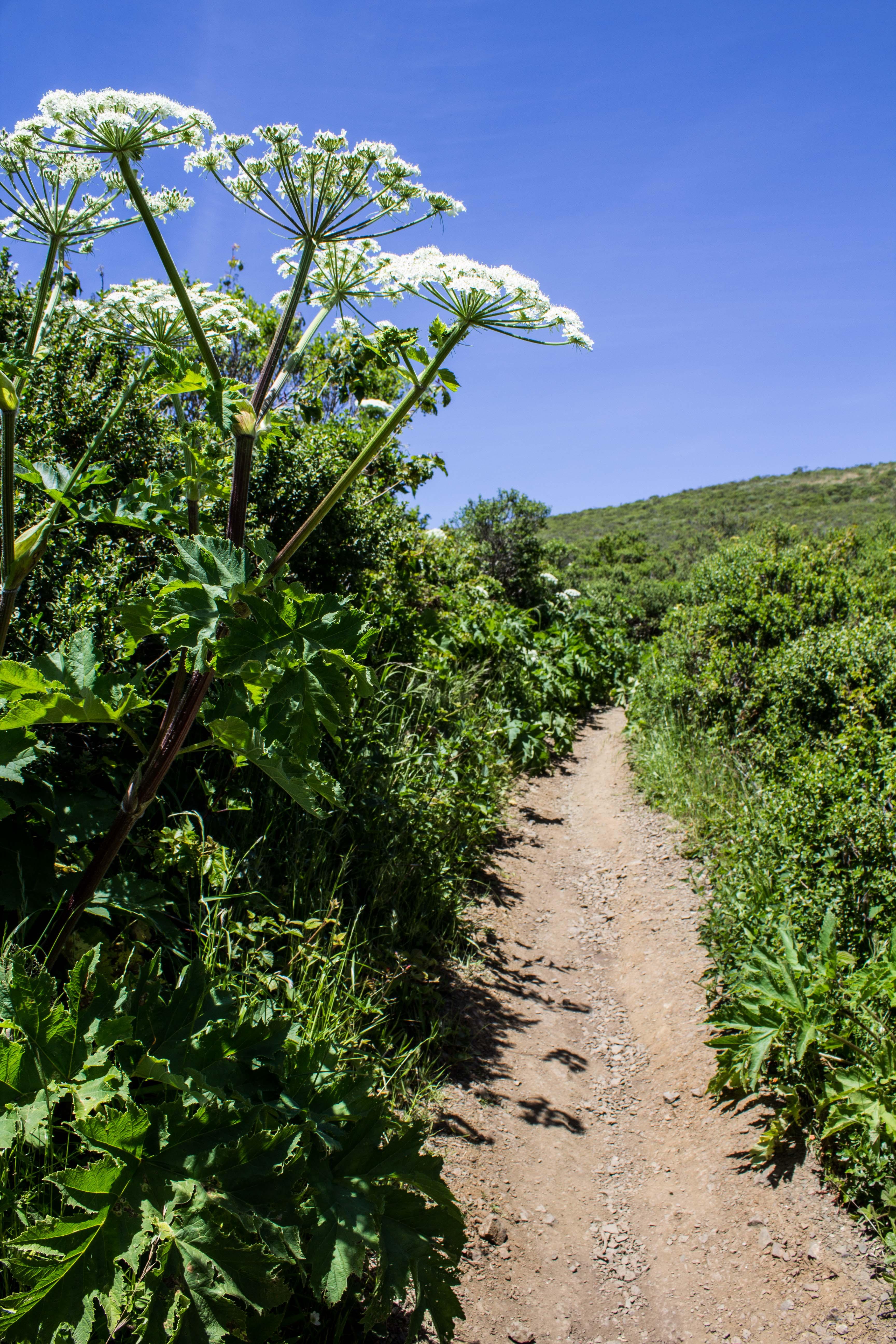 Cow Parsnip on the Dias Ridge Trail. Dawn Page/CoastsideSlacking
