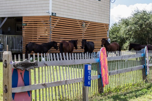 Feral mustangs, Outer Banks, NC. Dawn Page/CoastsideSlacking