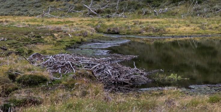 Beaver dam, Gable Island, Tierra del Fuego. Dawn Page/CoastsideSlacking