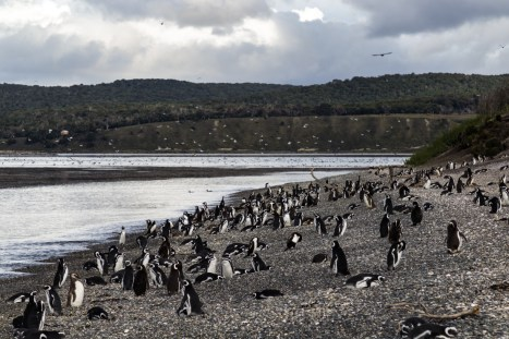 Gentoo penguins, Tierra del Fuego. Dawn Page/CoastsideSlacking