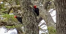 Megellanic Woodpecker at Tierra del Fuego. Dawn Page/CoastsideSlacking