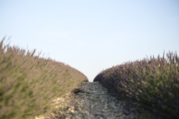 paca_valensole_lavender_fields_lavende_provence_round_curves