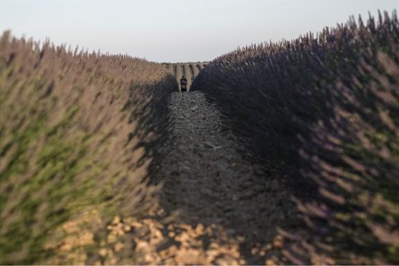 paca_valensole_lavender_fields_lavende_provence_round_curves_way