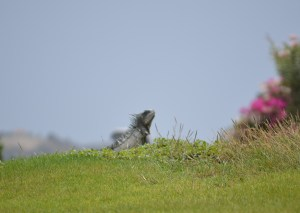 Iguanas and other wildlife abound at the Old Quarry Golf Course