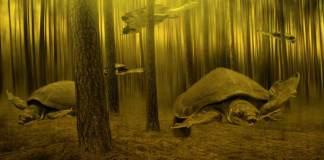 pig turtles swimming