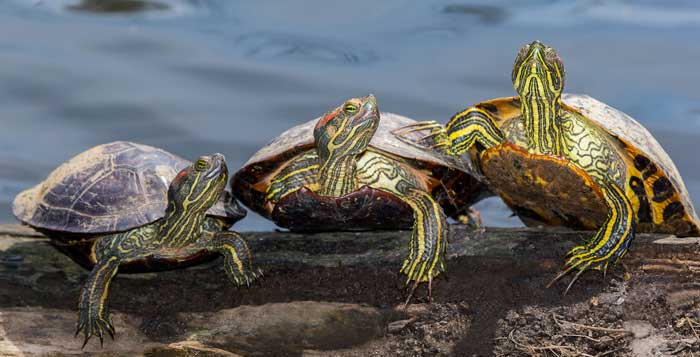 3 types of turtles you must see cobras org
