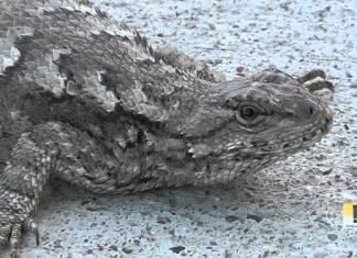 fence lizard