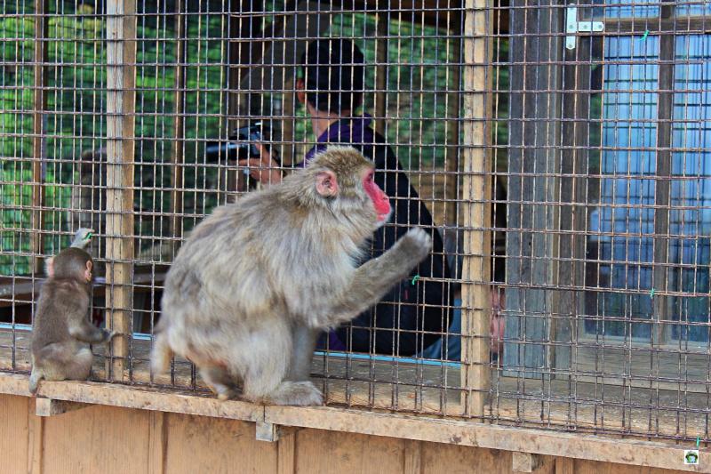 Monkey Park a Kyoto