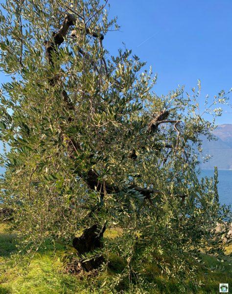 Monte Isola e gli ulivi