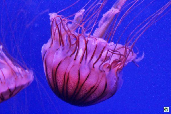 Meduse a Oceanografic di Valencia