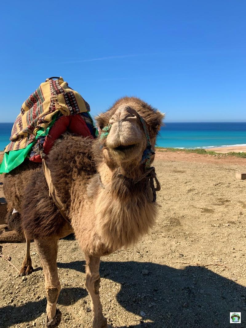 cammello in Marocco