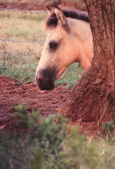 Foal's head peeking from behind a tree.
