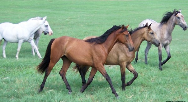 Three young horses trotting across a green field.