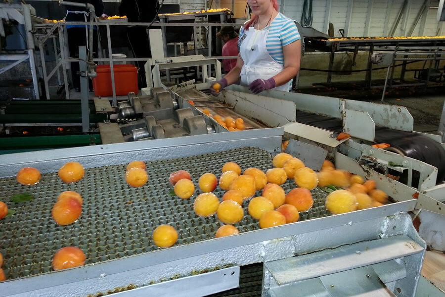 manipulador de alimentos en fabrica de fruta en conserva