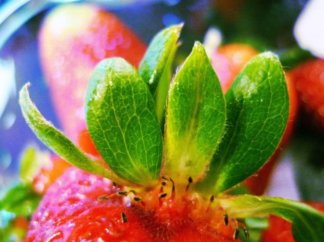 hoja de fresa receta