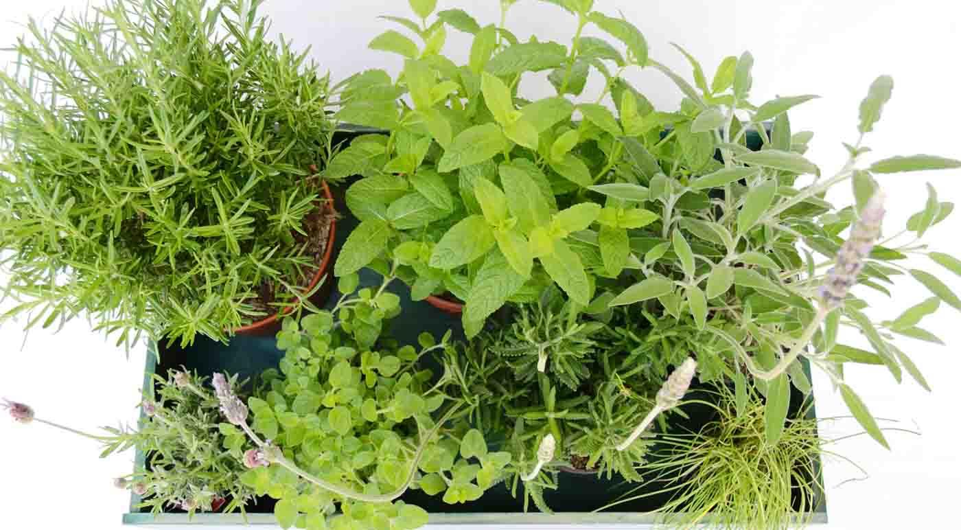 Como conservar las hierbas aromaticas - Propiedades y usos culinarios de hierbas aromáticas