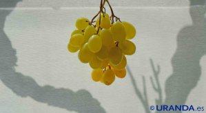 Xarel·lo: características de la uva y sus vinos