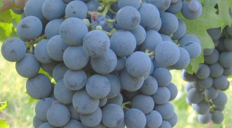 Carmenère: características de la uva y sus vinos - diccionario de uvas para vinos