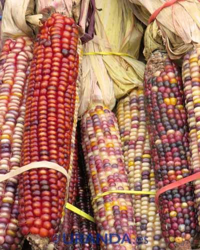 Diferencias nutritivas y culinarias entre maíz seco y maíz dulce o elote