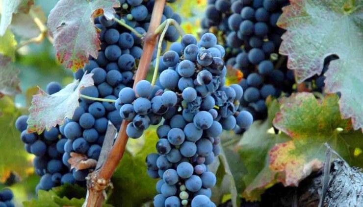 syrah o shiraz: características de la uva y sus vinos - diccionario de uvas para vinos