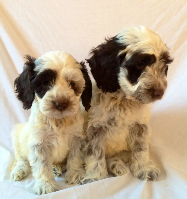 cockapoo breeders