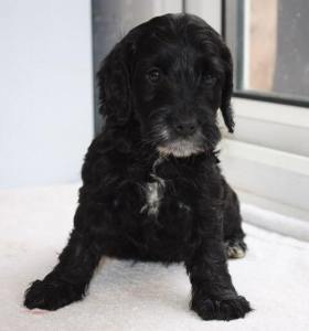 black and white miniature cockapoo