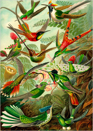 "THIS PROFUSION OF HUMMINGBIRDS is from the book ""Kunstformen der Natur,"" by Ernst Haeckel, 1900. The names of the birds, like Topaza pella, or crimson topaz (third from top), and Sparganura sappho, or red-tailed comet (with forked tail), seem as lush and elaborate as their coloration."