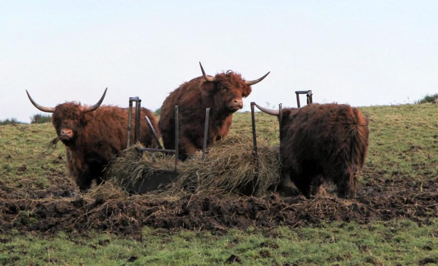Highland cows at Cardhu