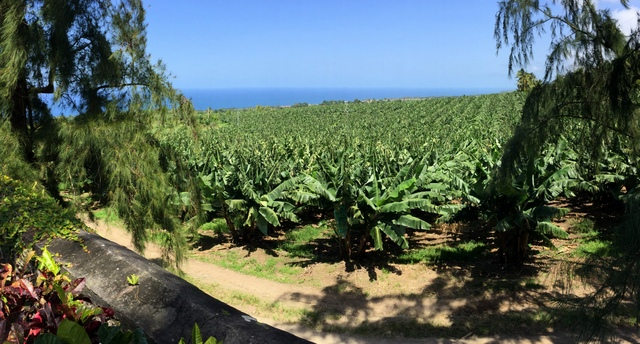 Banana fields, Rhum J.M, Martinique