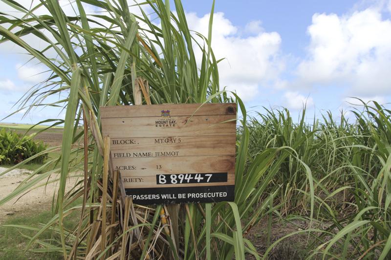 Mount Gay sugarcane field