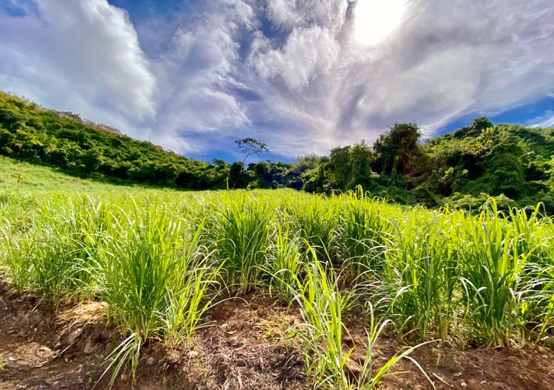 CaneCo cane field, Grenada