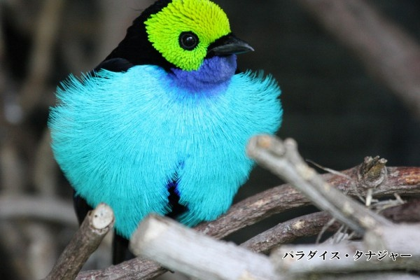 paradise tanager_upload