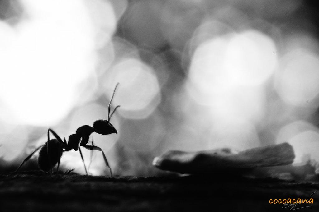 ant_cocoacana