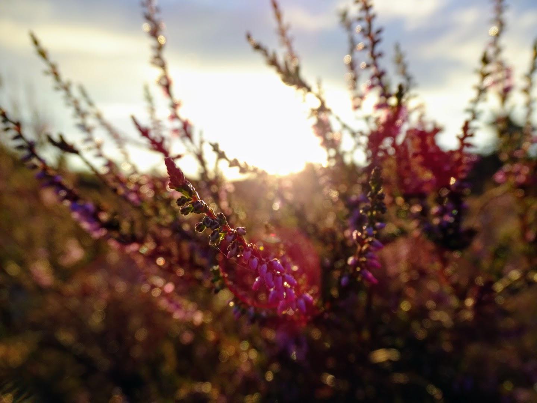 Heidekraut im Sonnenaufgang